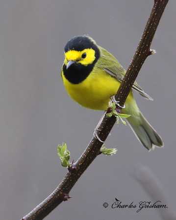 Hooded Warbler on Monte Sano - GPS