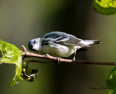 Cerulean Warbler - GPS