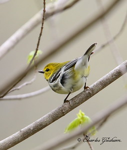 Black-throated Green Warbler - GPS