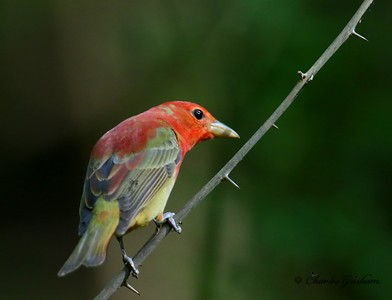 Molting Summer Tanager