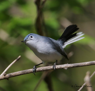 Blue-gray Gnatcatcher - GPS