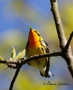Blackburnian Warbler - GPS