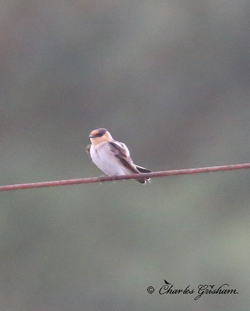 Cave Swallow - Dauphin Island   6d ISO 8000    heavy crop