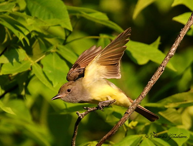 Great-crested Flycatcher - Monte Sano - GPS
