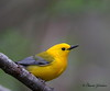 Prothonotary Warbler - GPS