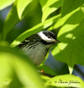 Blackpoll Warbler - GPS