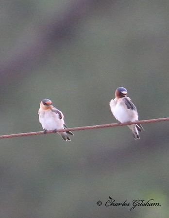 Cave Swallow (left) and Cliff Swallow (right)
