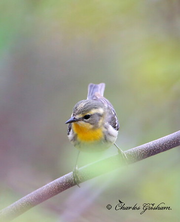 Blackburnian Warbler (female)      GPS