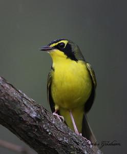 Kentucky Warbler in the rain on Monte Sano - GPS