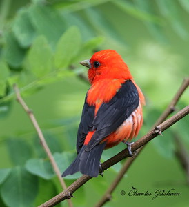Scarlet Tanager - GPS