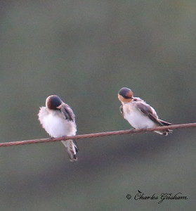 Cliff Swallow (left) and Cave Swallow (right).  6d ISO 8000.  Heavy Crop