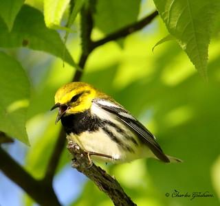 Black-throated Green Warbler - GPS