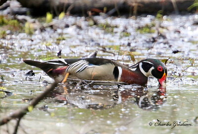 Wood Duck - GPS