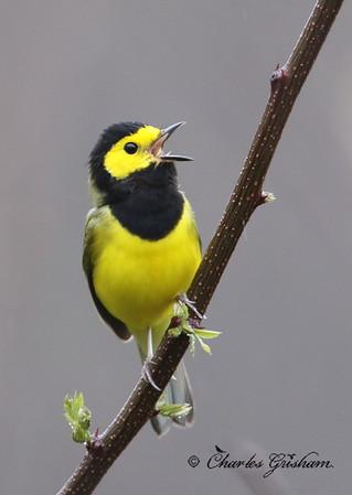 Hooded Warbler on Monte Sano - GPS