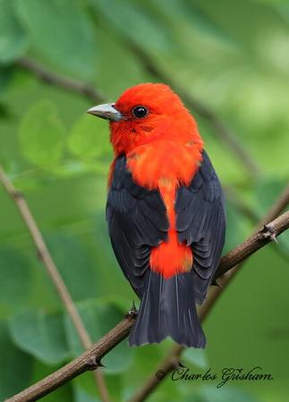 Scarlet Tanager - GPS