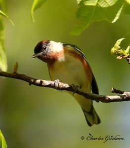 Bay-breasted Warbler - GPS