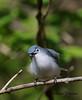 Blue-gray Gnatcatcher - GPS