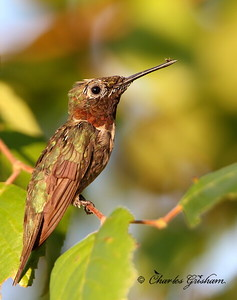 Ruby-throated Hummingbird - Riverwalk - GPS