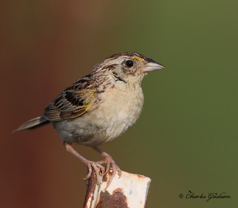 Grasshopper Sparrow - Winfred Thomas Research Station - GPS