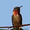 Ruby-throated Hummingbird - Riverwalk - GPS