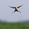 Scissor-tailed Flycatcher - Winfred Thomas Research Station - GPS