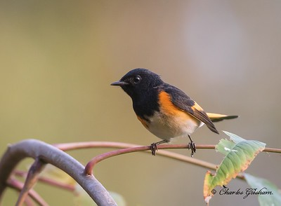 American Redstart on Monte Sano