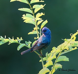 Indigo Bunting basking in the warm morning sunlight on Monte Sano