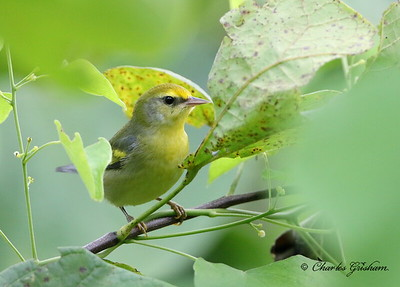 Rare Hybrid Golden-winged / Blue-winged Warbler