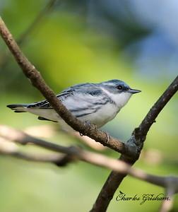 Cerulean Warbler (male)