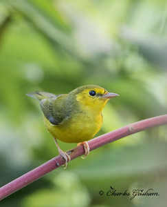 Hooded Warbler (Immature)