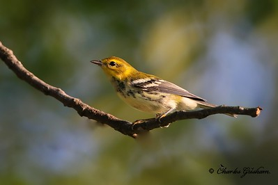 Black-throated Green Warbler on Monte Sano
