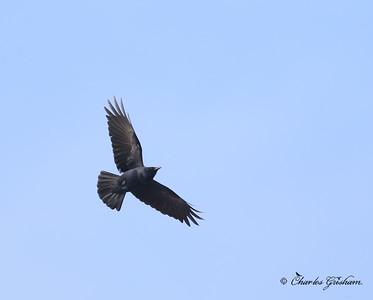 Fish Crow Corvus ossifragus Dauphin Island , AL Canon 6d Charles Grisham