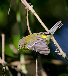 Magnolia Warbler / North Alabama / Indian Creek Greenway / September 23, 2014