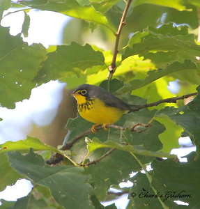 Canada Warbler / North Alabama / Monte Sano / September 22, 2014