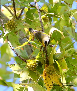 Golden-winged Warbler / North Alabama / Point Mallard Park / September 25, 2014