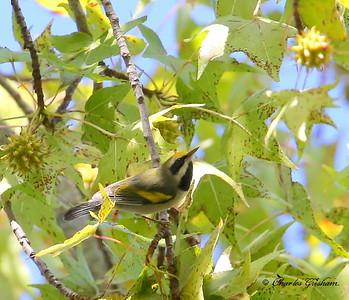 Golden-winged Warbler / North Alabama / Point Mallard Park / September 25, 2014