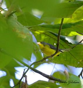 Canada Warbler / North Alabama / Point Mallard Park / September 24, 2014.