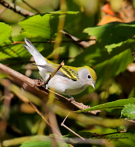 Chestnut-sided Warbler / North Alabama / Indian Creek Greenway / September 23, 2014