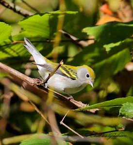 Chestnut-sided Warbler / North Alabama / Indian Creek Greenway / September 23, 2014