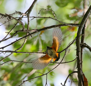 American Redstart / North Alabama / Point Mallard Park / September 18, 2014