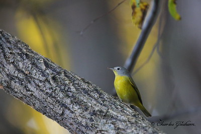 Nashville Warbler / North Alabama / Riverwalk along Flint River / October 17, 2014 / ISO 10,000 / The yellow behind the warbler is bokeh from the sunlit autumn leaves behind it