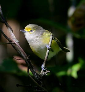 White-eyed Vireo / North Alabama / Indian Creek Greenway / September 23, 2014
