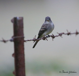 Eastern Wood Pewee (12,400 ISO, sun had set) / North Alabama / Berry Mountain / September 17, 2014