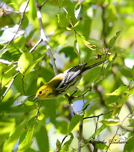 Black-throated Green Warbler / North Alabama / Point Mallard Park / September 24, 2014.
