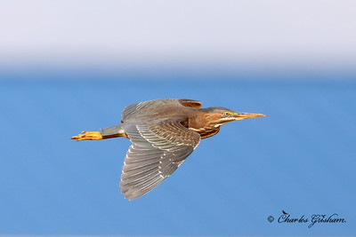 Green Heron / North Alabama / Mooresmill / September 28, 2014