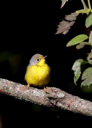 Canada Warbler / North Alabama / Indian Creek Greenway / September 23, 2014