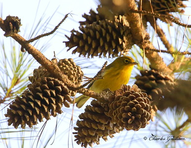 Pine Warbler / North Alabama / Berry Mountain / September 17, 2014