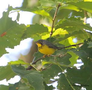 Canada Warbler / North Alabama / Monte Sano / September 22, 2014