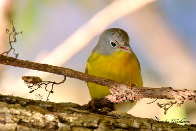 Nashville Warbler / North Alabama / Riverwalk along Flint River / October 18, 2014 / Early morning sunlight