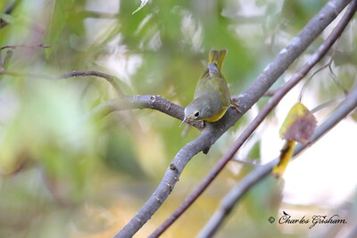Nashville Warbler / ISO 10,000 / North Alabama / October 17, 2014